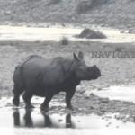 Chilapata Rhino